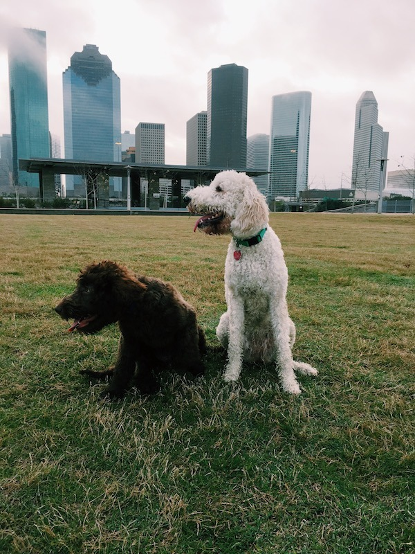 National Puppy Day Labradoodle BFFs - Cali And Maximus 1