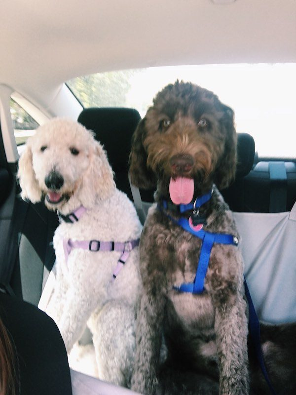 Fur Friends Car Rides