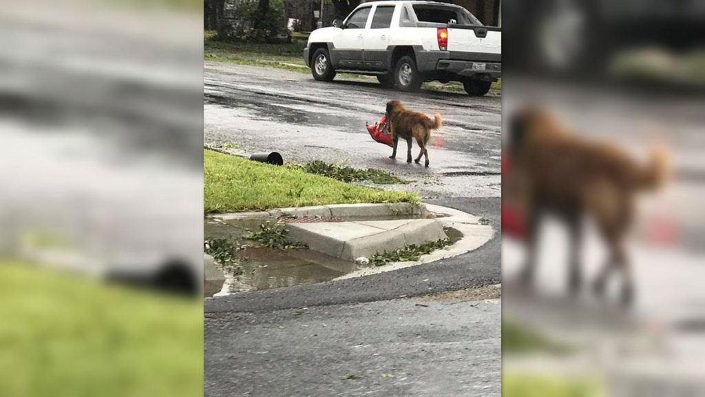 Refugee Pup Carrying Bag Of Food Hurricane Harvey